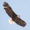 Bald Eagle (Haliaetus leucocephalus)… January 13, 2015.