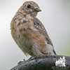 This morning in the rain- The fledglings are shedding their fuzz and spotted feathers for adult plummage-Eastern Bluebird (Sialia sialis)… August 21, 2015.