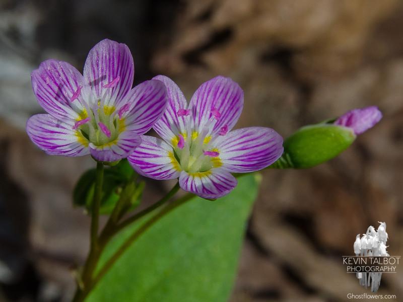 Spring Beauty (Claytonia caroliniana)… April 28, 2015.