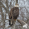 One of my pals this morning-  Bald Eagle (Haliaetus leucocephalus)… January 11, 2015.