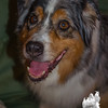 Traded two Australian Cattle Dogs today for one Australian Shepard, the lovely Terra T Traildog, so beautiful, and so good! August 16, 2015.