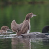 At five weeks the Hatch Pond loon twins are getting big!- Common Loon (Gavia immer)… August 7, 2015.