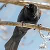 Red-winged Blackbird (Agelaius phoeniceus)… March 25, 2015.