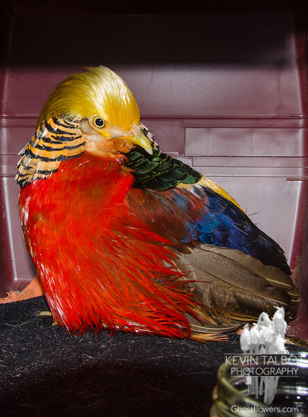 Safe and sound, returned to the bird keepers who live nearby- Golden Pheasant (Chrysolophus pictus)… March 4, 2015.