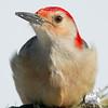 Red Bellied Woodpecker (Centurus carolinus)… February 13, 2015.