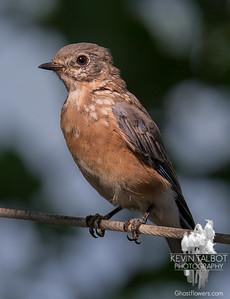 They grow up so fast- Eastern Bluebird (Sialia sialis)… September 2, 2015.