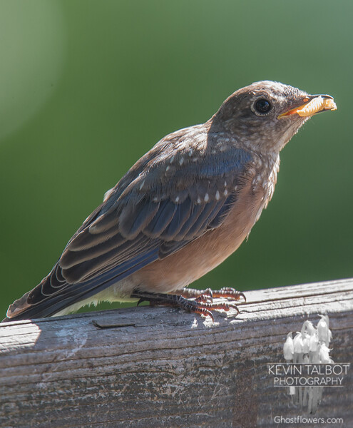 First brood has been feeding themselves for weeks and are now getting their adult plumage- Eastern Bluebird (Sialia sialis)… August 5, 2015.