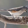 Tufted Titmouse (Parus bicolor)… March 22, 2015.