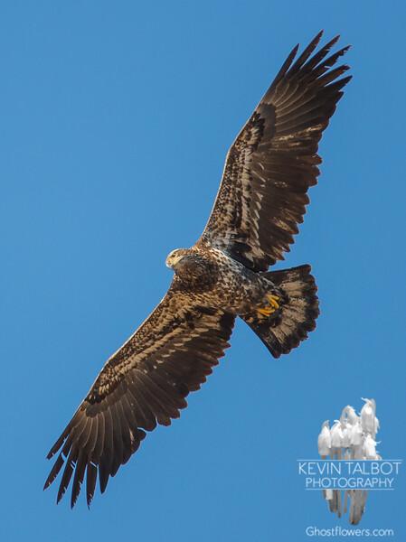 Bald Eagle (Haliaetus leucocephalus)… January 20, 2015.