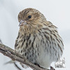 From a flock of about 20 this morning- Pine Siskin (Carduelis pinus)… February 14, 2015.