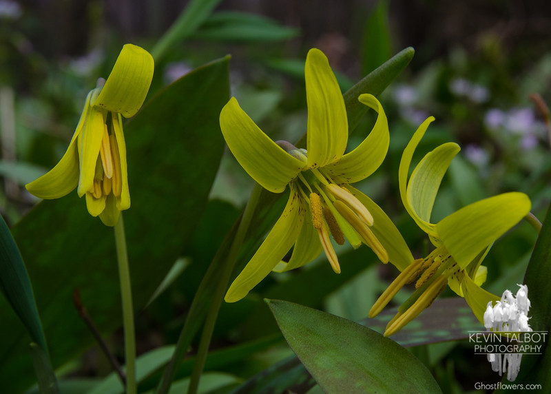 Trout Lily (Erythronium americanum)… May 3, 2015.