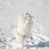 Bella catching snowballs… January 9, 2015.