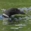 Sushi for lunch! Yay!- Common Loon (Gavia immer)… August 6, 2015.