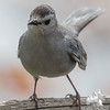 My pal: Gray Catbird (Dumatella carolinensis)… May 20, 2015.