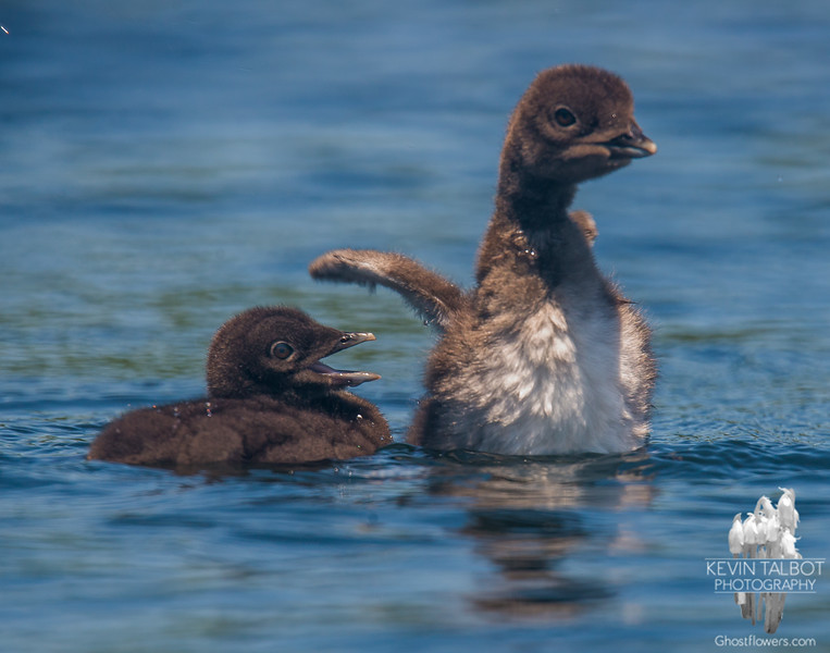 """""""Oh yeah? Who's the big one now?""""- Common Loon (Gavia immer)… July 28, 2015."""