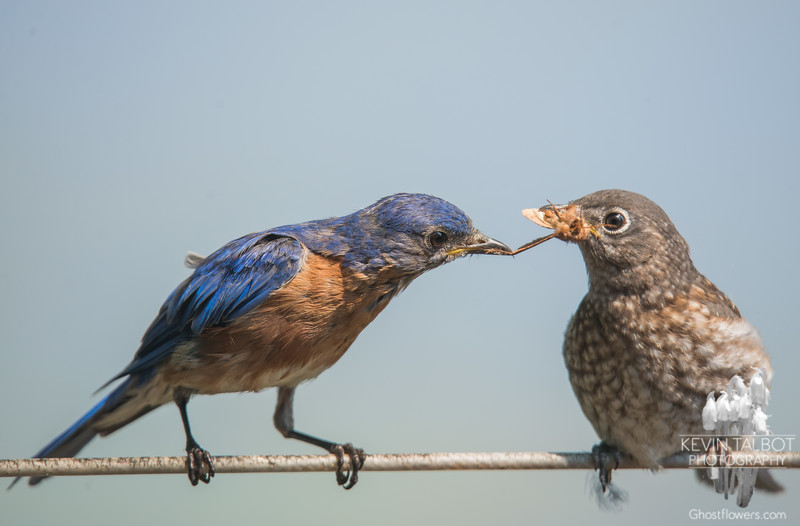 Papa seems reluctant to let go of the juicy moth he just fed Junior- Eastern Bluebird (Sialia sialis)… September 3, 2015.