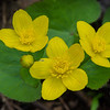 Marsh Marigolds (Caltha palustris)… April 29, 2015.