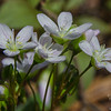 Spring Beauty (Claytonia caroliniana)… April 24, 2015.