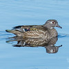 Wood Duck (Aix sponsa)… March 23, 2015.