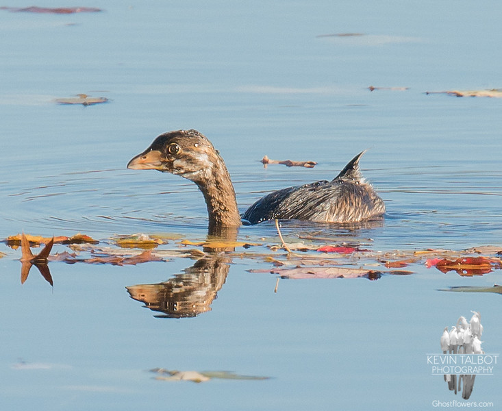 Pied-billed Grebe (Podilymbus podiceps) today on the Powow River… October 30, 2015.