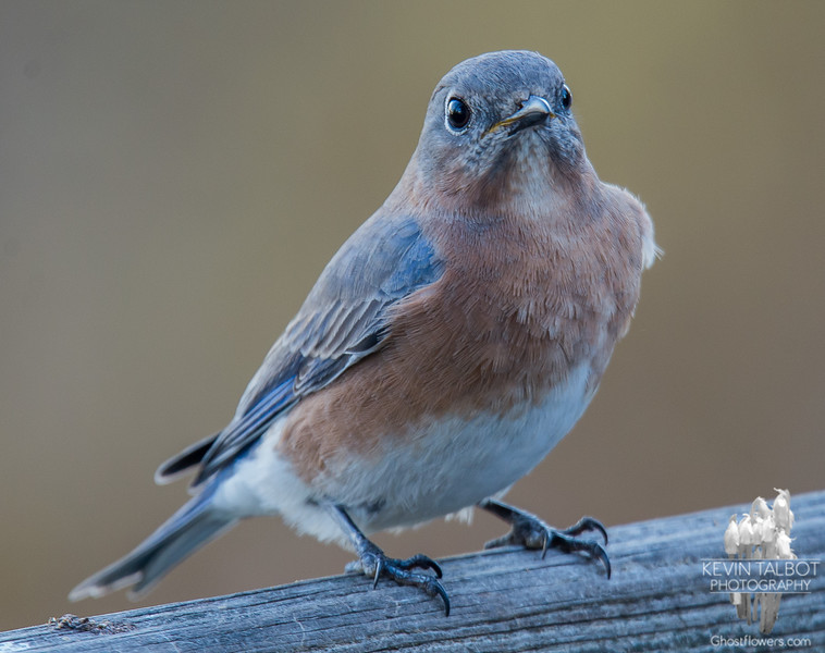 Dropping in to check on me- Eastern Bluebird (Sialia sialis)… November 18, 2015.