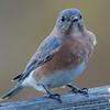 Dropping in to check on me- Eastern Bluebird (Sialia sialis)… November 18, 2015.