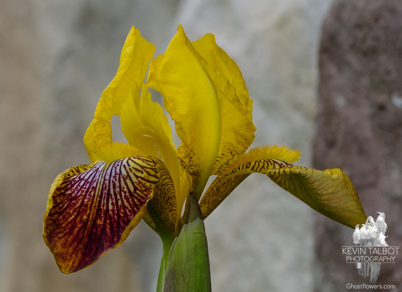 These iris were in the garden when we bought this house 26 years ago. So nice to see them visit us again every spring… May 22, 2015.
