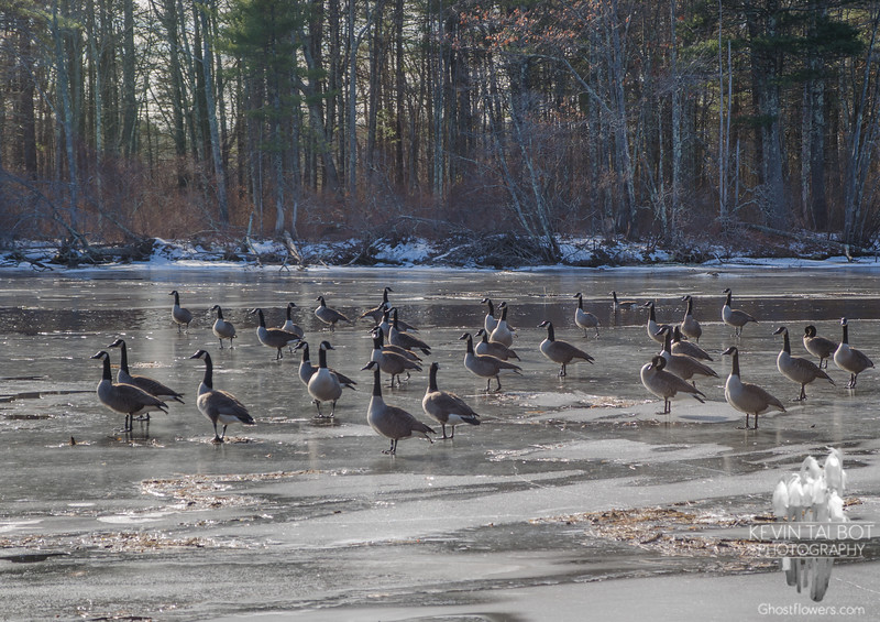 Canada Geese (Branta canadensis)… January 22, 2015.