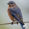 Today as the rain began- Eastern Bluebird (Sialia sialis)… October 28, 2015.