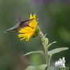 Remember that sunflower? Today in our garden- Ruby-throated Hummingbird (Archilochus colubris)... August 16, 2016.