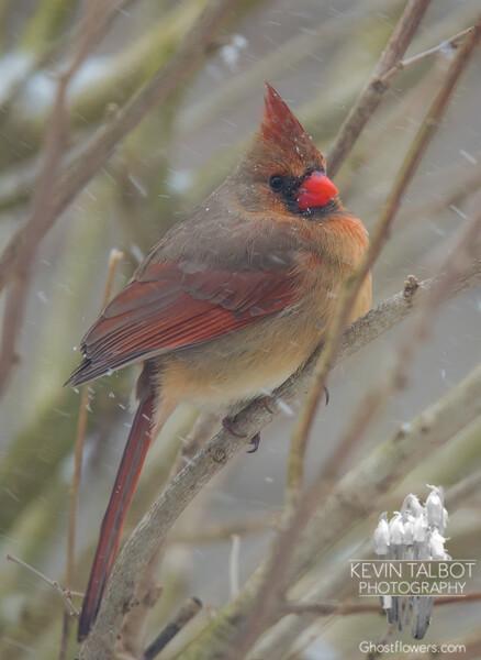 Mrs. Beautiful riding the storm out- Cardinal (Cardinalis cardinalis)… February 8, 2016.