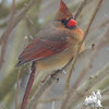Mrs. Beautiful riding the storm out- Cardinal (Cardinalis cardinalis)… February 8, 2016.
