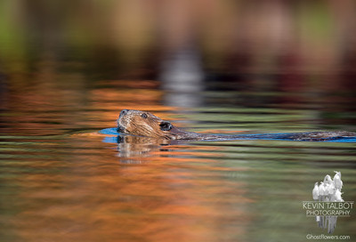 Mr. Beaver was out with us this morning checking on the foliage... October 11, 2016.