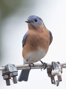 """Mr. Bluebird dropped by today. """"You OK?"""" Yeah I'm fine."""" """"Why do you look sad?"""" """"I'm sad because a lot of my friends are sad today, and we're not together and I can offer no comfort for them."""" """"Don't be sad, you've survived this sort of thing several times now, and you will survive again, and so will they."""" """"I know, but I have no way of making them happy again."""" """"Oh, but you do! Take a picture of me and share it with them! Then they will know that the world is still turning and there is always hope, no matter how bad things may seem!"""" """"OK, I'll do that..."""" """"Good! I'll see you again tomorrow!"""" I wouldn't miss it for the world!""""... November 9, 2016."""