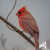 Some color in the drab landscape- Cardinal (Cardinalis cardinalis)… February 3, 2016.
