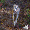 One of Emma's old friends, Zoey- she'll be 15 next month. Judy's been walking her for 13.5 years. Arthritic old girl lit up when we took her in the woods this morning... October 20, 2016.