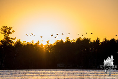 Coming in for the night- Canada Geese (Branta canadensis)... November 19, 2016.