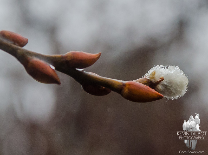 Today at Kingston State Park-Pusswillow… February 24, 2016.