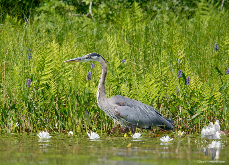 Just another one of my pals- Great Blue Heron (Ardea herodias;)… July 22, 2016.