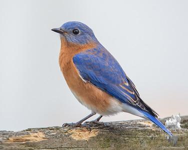 Just too handsome- Mr. Bluebird... December 2, 2016.