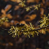 Today on Jockey Cap-Witch Hazel (Hamamelis virginiana)... November 14, 2016.