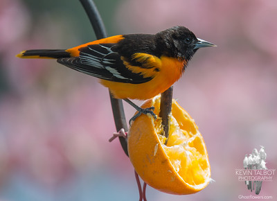 At home today- Baltimore Oriole (Icterus galbula), they've been here about a week… May 16, 2016.