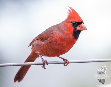 Mr. Cardinal dropped by today... October 30, 2016.