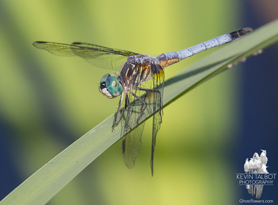 Today on the Powow- Blue Dasher (Pachydiplax longipennis)... July 19, 2016.