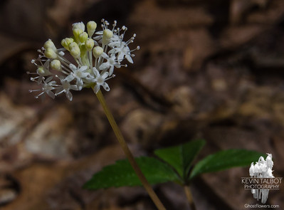 Today in Kingston Town Forest-Dwarf Ginseng (Panax trifolius)… April 29, 2016.