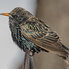 A bird is a bird to me, I find them all unique and interesting- European Starling (Sturnus vulgaris)… February 14, 2016.