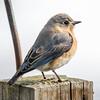 Mrs. Bluebird- Eastern Bluebird (Sialia sialis)… February 23, 2016.