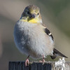 Little Goldfinch patiently awaits his turn at the feeder... November 1, 2016.