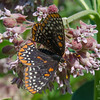 More  Milkweed (Asclepius syriaca)- Oh, and this Baltimore Checkerspot (Euphydryas phaeton)… June 30, 2016.