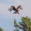 The Landing:  Bald Eagle (Haliaeetus leucocephalus) today on Lake Mooselookmeguntic, Oquossoc, Maine…  July 24, 2016.